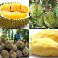 5pcs Durian Tree Fruit Seeds Samen Frucht Samen Organische Durian Tropical Fruit