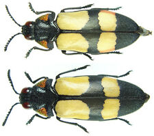 Insect - Agelia peteli - Tanzania - Mint Pair 25mm+/- ....!!