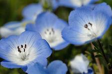 Baby Blue Eyes Flower Seeds