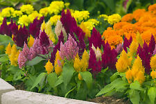 Celosia MIXED COLOURS .15 grams (approx 260 seeds) ( HEIRLOOM / ORGANIC) Flowers