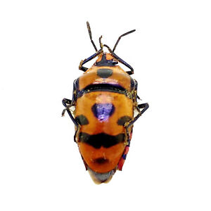 Clown Face Bug Beetle (eucorysses javanus variabilis) Insect Collector Specimen