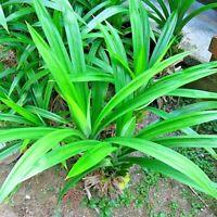 50 Pcs Pandan Herb Seeds, Pandanus Amaryllifolius, 100% new and high quality