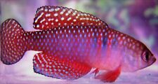 Hypso.magnificus Killifish (killiefish) eggs