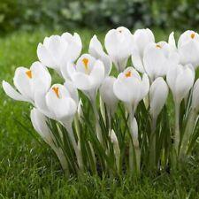 More details for 20 x large flowering white crocus - joan of arc spring garden bulbs