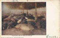 """Chicago, ILLINOIS - Union Stock Yards - """"Contented & At Home"""" - 1907 Hogs / Pigs"""