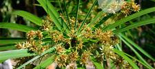 1500 seeds Cyperus alternifolius, Umbella plant, Flatsedge Thai herb garden