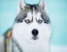 METAL MAGNET Siberian Husky Sled Dog Blue Eyes Travel Dogs MAGNET