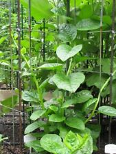 Malabar Spinach Green Stem/Vine Vegetable Plants 100 Seeds