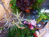 plante aériennes soleil ,sans terre ,TIGE 3RAMIFICATION s,se ramifient  vite