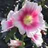 Hollyhock Seeds 25 Halo Hollyhock Blush Seeds Perennial Seeds