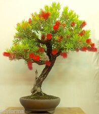 50 graines - seeds / Callistemon citrinus - BOTTLEBRUSH - goupillon / Bonsai