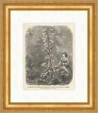 Die Riesenlilie vom Himalaya im Park des Herrn Bergwall Holzstich Blumen E 0568