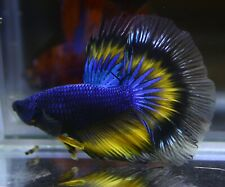 <Have video> BETTA FISH BLUE BUTTERFLY HALF MOON (HM) MALE
