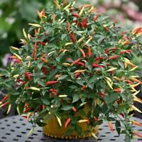 Sps Feuermohn Copper Queen Stylomecon Heterophyllum Seed Flower 50116