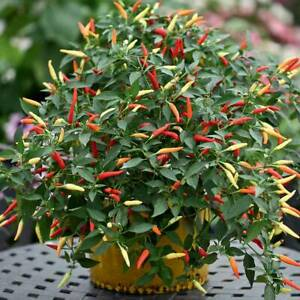 SUPER HOT!!! BIRD EYE CHILLI PEPPER DEMON - VIABLE SEEDS - UK Stock