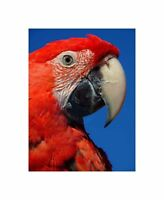 Red Macaw Parrot Bird Face Photo Art Picture Canvas Print