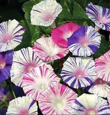 Morning Glory Harlequin mix 10 seeds * Easy Grow * CombSH B78