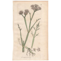 Sowerby antique 1795 hand-colored engraving botanical Pl 363 Water-dropwort