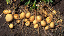 30 Seeds Sweet Potato Seeds From Thailand .