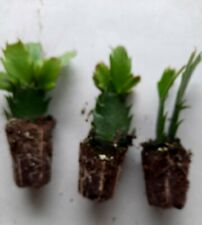 2 rooted christmas cactus segments red, white, or yellow in pod ready to plant