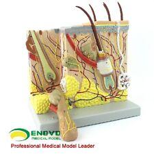 70:1 Human Anatomical Skin Subcutaneous Tissue Dissection Medical Teach Model
