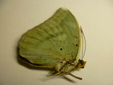 Euphaedra spatiosa  M,  UNMOUNTED,  SIN MONTAR  A1   BUTTERFLY