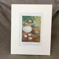1895 Vittoriano Stampa Uccelli Uova Egg Raccolta Wren Candida Blackbird Antico