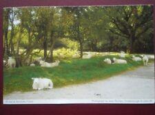 POSTCARD SUSSEX ASHDOWN FOREST - SHEEP HAVING A REST