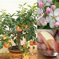 """SEEDS - Self-fertile Dwarf Gala Apple Tree """"Malus domestica"""" Easy Grow!"""