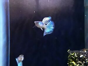 10 fry unsexed metal bluelace x bluegrass Fancy Guppies Guppy USA BRED