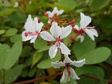 Bauhinia yunnanensis (5 Seeds/graines)