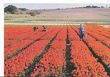 Northern Ireland Postcard - Tulip Farm - Belfast - Eastern Transvaal    AB2214