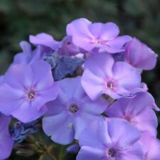 1 x Staude Flammenblume Phlox pani BLUE BOY kräftiges Blau Kübel Balkon Terrasse