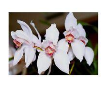 Stk - 1x Cymbidium erythrostylum x sib Orchidee Topf Zimmer Pflanze L418