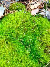 LIVE GREEN Woodland Moss Terrarium, Pot, Bonsai, Fairy Garden, Fresh 1 Quart