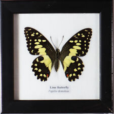 Framed Real Lime Butterfly Display Insect Taxidermy