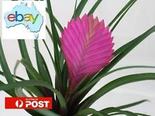 50 X TILLANDSIA CYANEA - PURPLE PINEAPPLE / PINK QUILL SEEDS - BONSAI