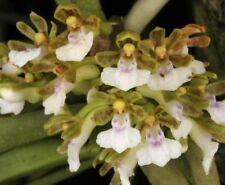 Trichoglottis Triflora Orchid plant species miniature Thailand