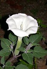 A 12 devil's trumpet seeds DATURA METEL huge 40cm (16 inch) highly scented bloom