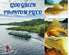 "1 L200 Green Phantom Pleco 3+"" - free shipping - continental U.S."