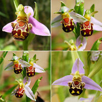 50PCS Rare Seeds Flower Smile Face Bee Orchid Flower Seeds Home Garden Decor