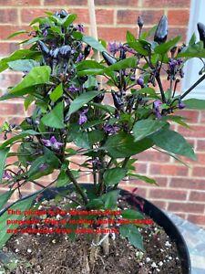 Chilli plant Black and purple chilli plant, Flower bud appear soon, Bangladeshi