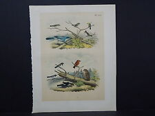 "Birds, Jacob H. Studer, 1903, One Large Old Print! 12"" x 15"" S2#16"