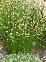 Knotty or Knobby Club Rush Seed Native Frost Drought & Salt Tolerant Water Plant