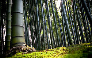 Framed Print - Chinese Bamboo Forest (Picture Poster Wood Tree Grass Art)