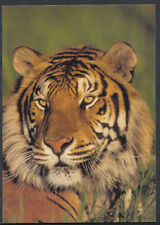 Animals Postcard - Wild Animals - Big Cats - The Tiger C1340