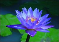 Blue Lotus Abs Pure & Natural Nymphaea caerulea.Uncut or diluted.5-10% off!