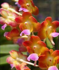 Vandaceous orchid - Rhynchorides Bangkok Sunset