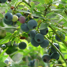 Blueberry Earliblue Early Fruiting Fruit Bush Grown In a 3.5 litre Pot