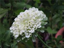 zinnia, Polar Bear, All White flower Zinnia, 170 seeds! GroCo